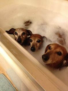 Rub a dub dub - three Doxies in a tub . Taken by Lisa Daniels from everyone loves a dachshund
