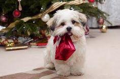 Lhasa Apso puppy