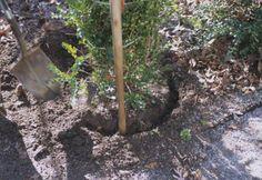 Boxwood transplanting