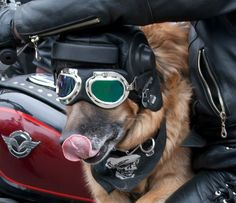 Cool Dogs On Motorcycles