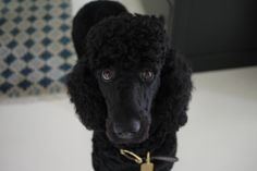 Tauren Poodle, 10 months, very neat and clean clip