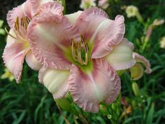 Hemerocallis 'Height of Fashion', hybridized by Mike Huben. Although its ancestors are rebloomers, it does not exhibit rebloom traits in the MA garden in which it was hybridized. When crossed with other rebloomers, the trait reappers in subsequent generations.