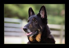 STAR is an adoptable German Shepherd Dog Dog in Milan, MI. AUGUST UPDATE:Star is still looking for her very special home and family. She has blossomed at HyHopes, and is full of life and joy. She is a...