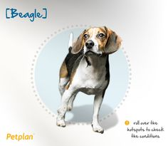 Beagles are naturally comfortable in the company of people and other dogs. They are patient and gentle with children and make wonderful family pets. They are easily trained, but may choose to ignore all training once they have picked up a scent. Be wary with treats, though! Beagles are prone to obesity as adults, and therefore daily exercise is recommended.