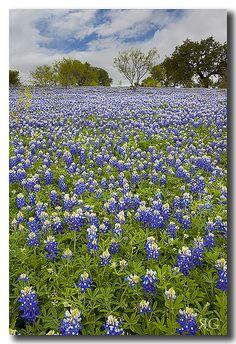 Texas Bluebonnet Field on Art Hedwig Road