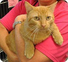 Westampton, NJ - Domestic Shorthair. Meet C-60257 Caleb, a cat for adoption. http://www.adoptapet.com/pet/11569831-westampton-new-jersey-cat