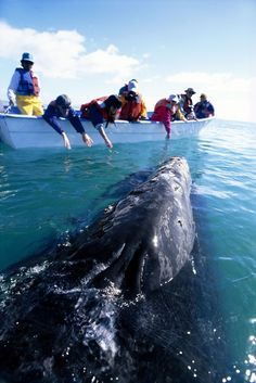 Whale Watching in Laguna San Ignacio, Baja California Sur, Mexico.