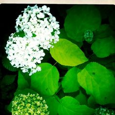 Fleurs d hortensia