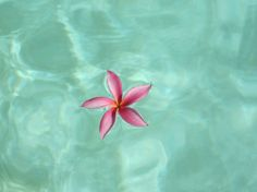 Plumeria flower floating on the water