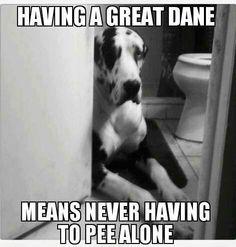 great danes, the doors, cat, anim, pet