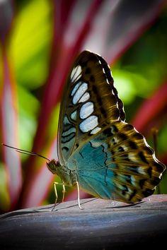 beauti butterfli, god, true colors, butterflies, color combinations, beauty, papillon, insect, blues