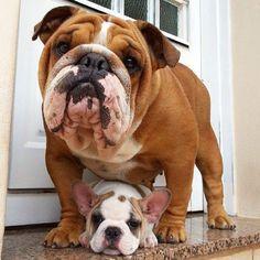 English bulldog and a baby french bulldog