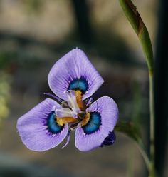 Peacock-Iris: Moraea villosa [Family: Iridaceae]. The genus Moraea has iris-like flowers - Flickr - Photo Sharing!