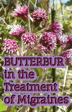 Butterbur in the Treatment of Migraines - WholesomeOne Natural Holistic Health Therapies
