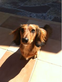 Douglas the Longhaired dachshund just stopping by to say hello. - Imgur