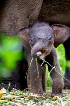 One Day Old Calf @ Elephant Conservation Centre, Thailand | When you like, share, or follow IvoryForElephants..., help us gain media $$ to help save them. #ivoryforelephants #stoppoaching #elephants for #ivory ! #animals #killthetrade #babyelephants #animalbabies