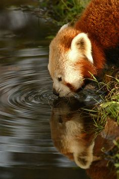 Red Panda in Chester Zoo