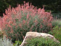 agastache (hummingbird mint)--  xeriscape garden in Lakewood