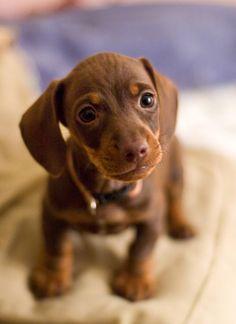 mini dachsund puppy