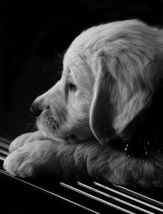 """""""Thinking Of You"""" ---- [Time out of a busy day for a Golden Retriever puppy.]~[Photograph by Natalie Manuel - November 4 2007]'h4d'121109"""