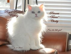 Our leading lady at Royal Rascals Cattery  http://www.royalrascalscattery.com/id2.html