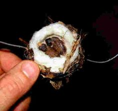 Hummingbird nest.  andreas d. baby hummingbirds 1opt.jpg (500×474)