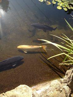 descanso garden, sea life, southern california, koi pond, koi fish, white koi, fish pond, natur beauti