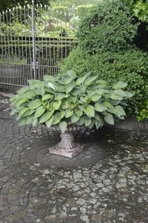 Grow hosta in an urn.