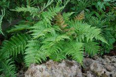 Autumn Fern - an evergreen fern