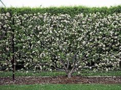Espaliered Tree Trained to Garden Wall