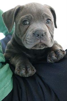 Marley - a blue English Staffordshire bull terrier