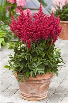 Astilbe 'Fireberry'  16 inches