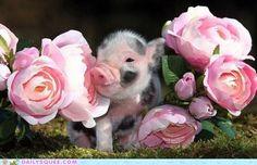 Aww piggy