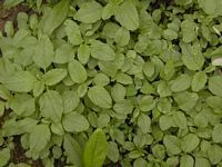 Foraging Pictures: Reference site with several photos per plant