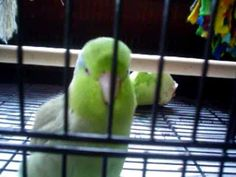 Joey the talking parrotlet  6