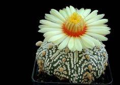 beauti cactus, colorful flowers, cacti, beauty, cactus flower, succul, quot, garden, super kabuto