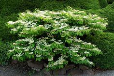 evergreen davidii viburnum   Viburnum plicatum tomentosum 'Mariesii', here in my neighbor's garden ...