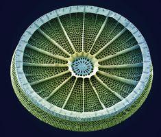 Wheel Diatom, Sem Photograph by Steve Gschmeissner