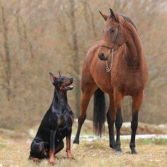 Doberman & Horse