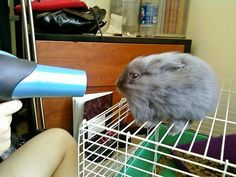 Blowdry bunny
