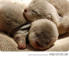 Newborn baby otters--Wittle Baby Hamishes!  So cute!