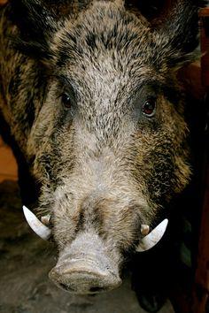 Wild Hog Razorback Boar Tooth, north texas hog hunter.com