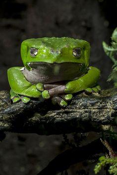 Green waxy tree frog