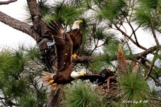 AMERICAN BALD EAGLE  Southwest Florida Eagle Cam's Page