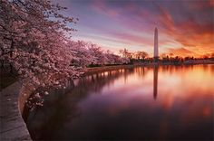 The National Cherry Blossom Festival. See the blossoming of thousands of cherry trees on the Tidal Basin in Washington, DC. The capital welcomes spring with this annual tradition begun by the gift of 600 trees to the United States from Japan in 1912.