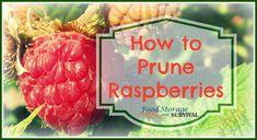 How to Prune Summer Bearing Raspberries - Food Storage and Survival