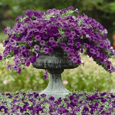 Photo of Easy Wave Blue Spreading Petunia Plants, Petunia Plants