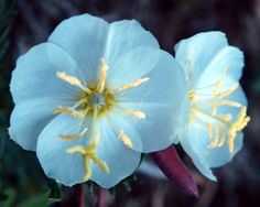 The Joys in Moonlight Gardens With Solar Garden Lighting — A Lovely Garden pale blue evening primrose
