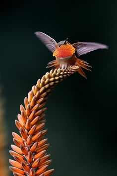 hummingbird beautifully poised