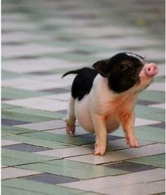 I want a micro mini pig so bad! they are the cutest! Look at its little belly